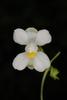 White flower close-up (North Key Largo, FL)-Mid Winter