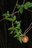 Vine with fruit (North Key Largo, FL)-Mid Winter
