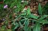 Carduus muticus
