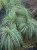 Carex albula (comans) Frosted Curls