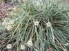 Carex conica