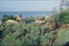 Carex firma (glauca)
