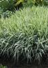 Carex morrowii 'Aurea varigata'