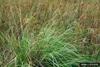 Carex glaucescens