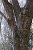 Carpinus Caroliniana