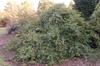 Carpinus betulus 'Pendula' - small tree planting