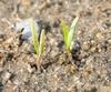 Daucus carota subsp. sativus