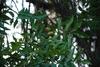 Carya aquatica