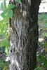 Scaly bark (Pickens County, AL)-Mid Fall