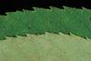 Serrate margin (Pickens County, AL)-Mid Fall