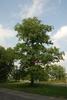 Tree form (Niagara Falls, ON)-Late Summer