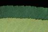 Carya pallida