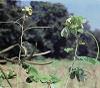 Cassia obtusifolia (Senna obtusifolia)