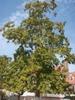 Catalpa bignonioides - seed pods on full tree
