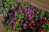 Catharanthis roseus