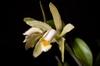 Cattleya forbesii 'Prazer'