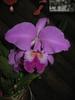 Cattleya labiata 'Helena'