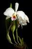 Cattleya mossiae fma. semi-alba 'Canaima's