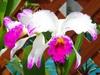 Cattleya mossiae forma aquinii 'Canaima's Paradise'