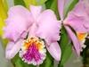 Cattleya mossiae tipo