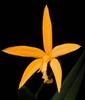 Cattleya neokautskyi
