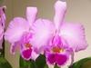 Cattleya trianae tipo