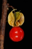 Red fruit close-up (Alleghany County, NC)-Mid Fall