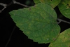 Celtis tenuifolia