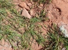 Cenchrus longispinus