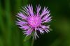 Centaurea maculosa