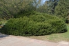 Cephalotaxus harringtonia 'Duke Gardens' - Full Bush