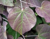 "Cercis canadensis ""Ruby Falls'"