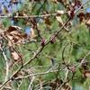 Cercis canadensis var. canadensis