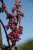 Flower buds
