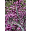 Cercis canadensis var. texensis 'Traveller'