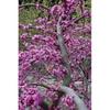 Cercis canadensis var. texensis 'Traveller'