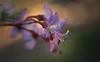 Cercis canadensis var. mexicana
