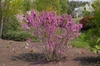 Cercis chinensis 'Avondale' Form