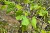 Cercis chingii