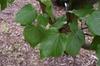 Cercis gigantea (Pale Flower)