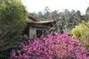 Flowers of Cercis glabra