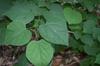 Leaves of Cercis glabra