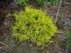 Chamaecyparis pisifera 'Filifera Sungold'