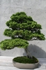 As a bonsai