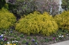 Chamaecyparis pisifera 'filifera KingsGold' Form