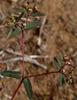 Chamaesyce hyssopifolia