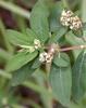 Chamaesyce nutans