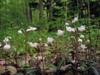 Chimaphila maculata