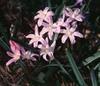 Chionodoxa luciliae, C. gigantea