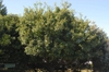 Chionanthus retusus - medium tree full foliage